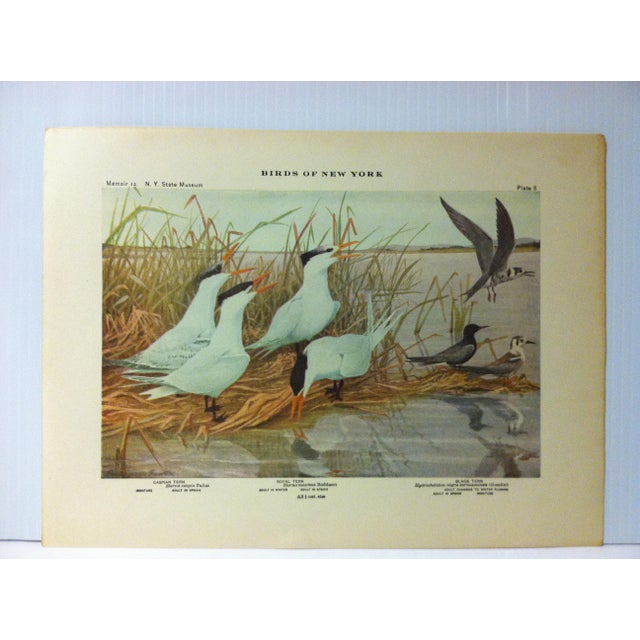 """This is a Real Nice Antique The State of New York Museum Birds of New York Print on Paper that is titled """"Caspian Tern -..."""
