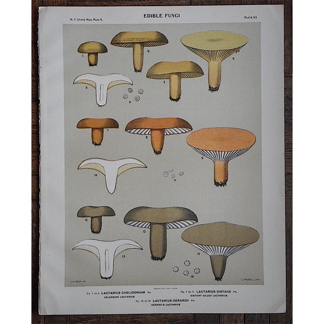 Antique Mushroom Chromolithograph - Image 2 of 3