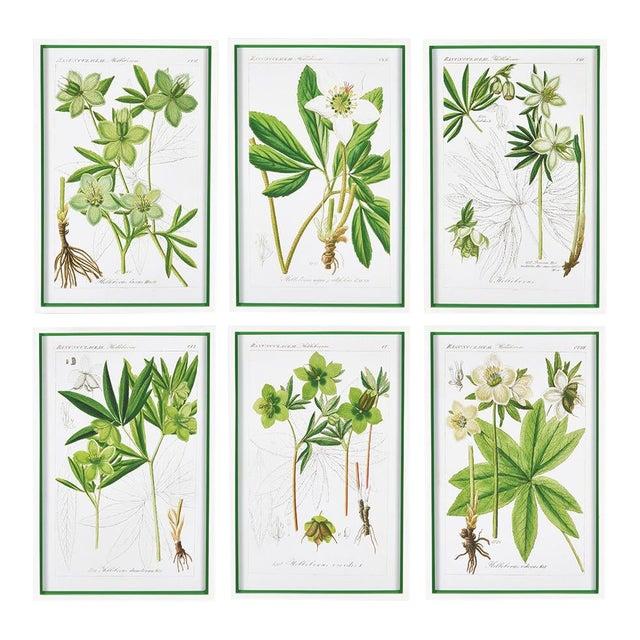 Hellebores Botanical Study Prints - Set of 6 For Sale