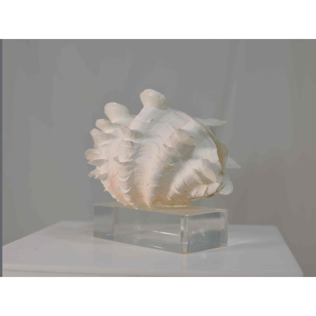 Frilled Conch Shell Sculpture on Clear Acrylic Base For Sale - Image 4 of 13