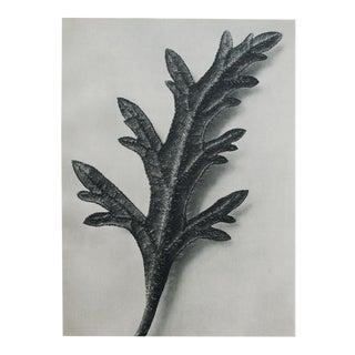 Blossfeldt Two-Sided Black & White Photogravure