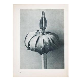 Karl Blossfeldt Photogravure N66-65, 1935