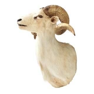 Taxidermy Sheep Wall Mount For Sale