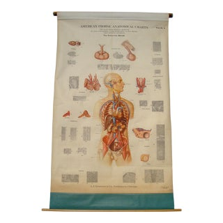 Schoolroom Medical Pulldown Chart Endocrine Glands Wall Decor Art For Sale