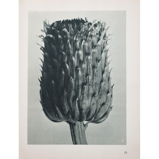 Blossfeldt Double Sided Photogravure - Image 5 of 11