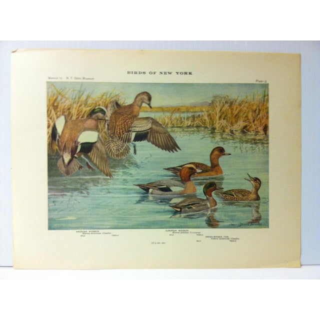"""This is a Real Nice Antique The State of New York Museum Birds of New York Print on Paper that is titled """"American Widgeon..."""