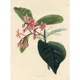 Coralberry, 1820s Hand-Colored English Botanical Print For Sale