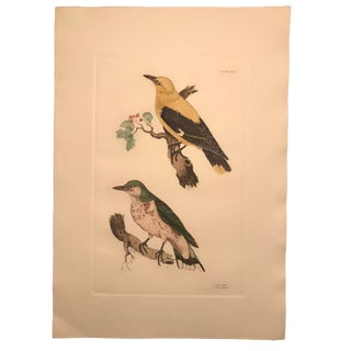 Traditional Oriole - Hand Colored Copper Engraving by P. John Selby For Sale