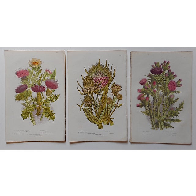 Traditional Antique Botanical Lithographs - Set of 3 For Sale - Image 3 of 3