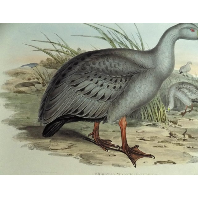 Mid 19th Century 1840s Cape Barren Goose John Gould Print For Sale - Image 5 of 11