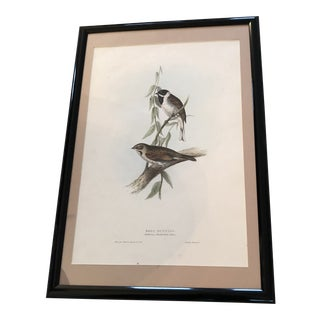 Early 19th Century Antique Gould's Birds of Europe Reed Bunting Print For Sale