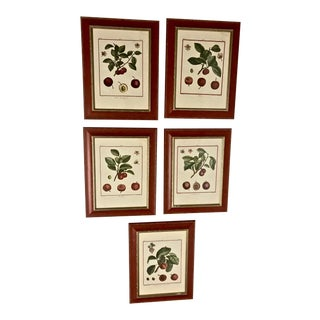 18th Century Hand-Colored Botanical Engravings of Cherry Specimens, Set of 5 For Sale