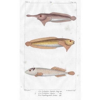 Fish Engraving French 19th Century For Sale