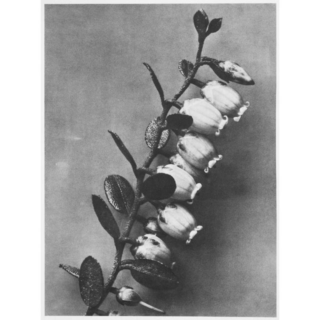 1935 Karl Blossfeldt Photogravure N89-90 For Sale - Image 4 of 9