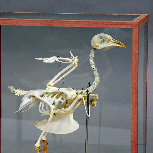 Figurative Vintage Pigeon Skeleton Model For Class Circa 1950 For Sale - Image 3 of 7