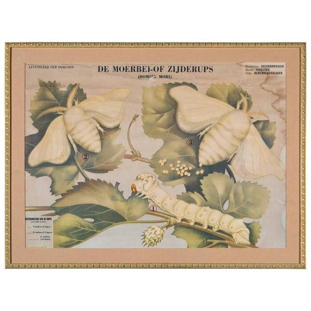 Framed Belgian Vintage Chart of White Moth - Image 5 of 5
