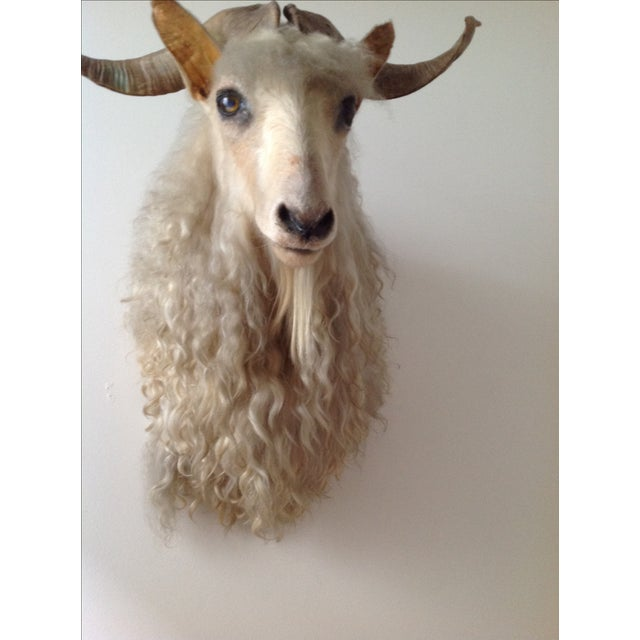 Angora Sheep Taxidermy Mount - Image 3 of 3
