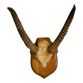 Well Mounted Skull and Horns from an African Gazelle with the Original Wooden Plaque from France c.1890 For Sale