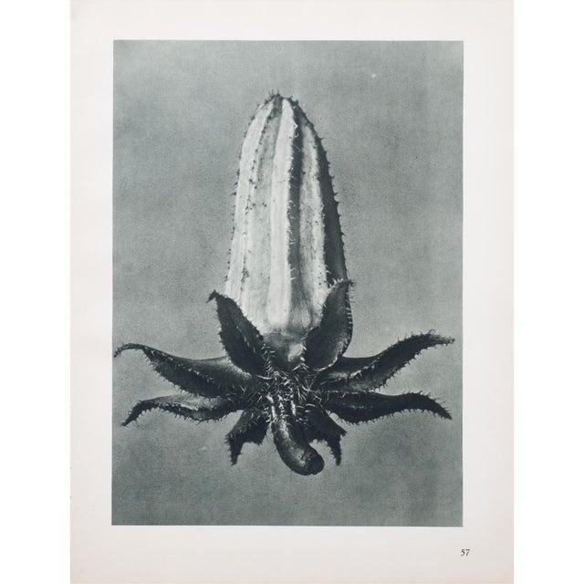 Karl Blossfeldt Double Sided Photogravure N57-58 - Image 2 of 8