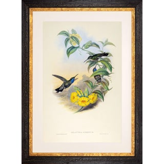1990s John Gould Blue-Throated Cazique or Delattria Clemenciae (Plate 60) Framed Print For Sale