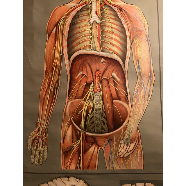 1960s Vintage Hagemann for Denoyer-Geppert German Human Nervous System Pull-Down Chart For Sale In Indianapolis - Image 6 of 10