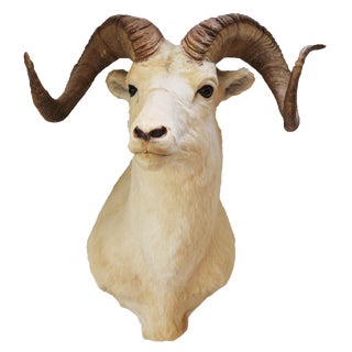 Vintage Dall Ram Taxidermy Mount For Sale