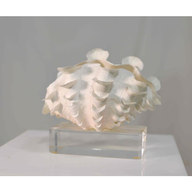 White Frilled Conch Shell Sculpture on Clear Acrylic Base For Sale - Image 8 of 13