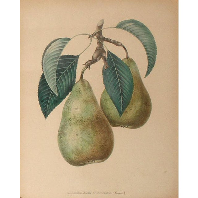 Antique French Apple & Pear Prints Framed in Gilt Wood - Pair For Sale - Image 4 of 7
