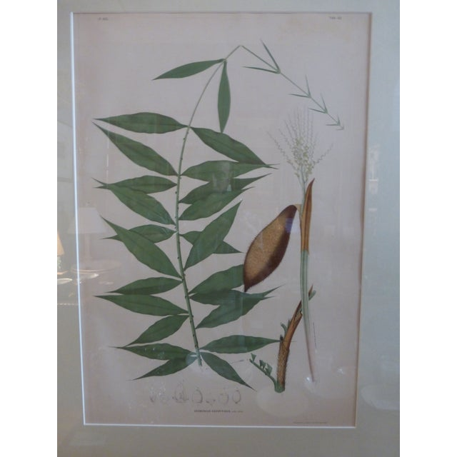 1903 Palm Engravings by Joao Barbosa Rodrigues - Image 6 of 8