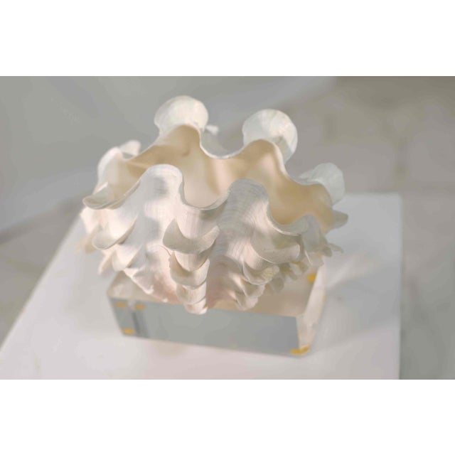 Frilled Conch Shell Sculpture on Clear Acrylic Base For Sale - Image 12 of 13