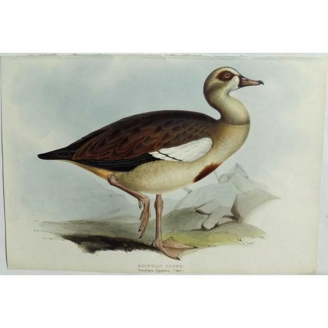 Farmhouse 1837 Egyptian Goose John Gould Print For Sale - Image 3 of 6