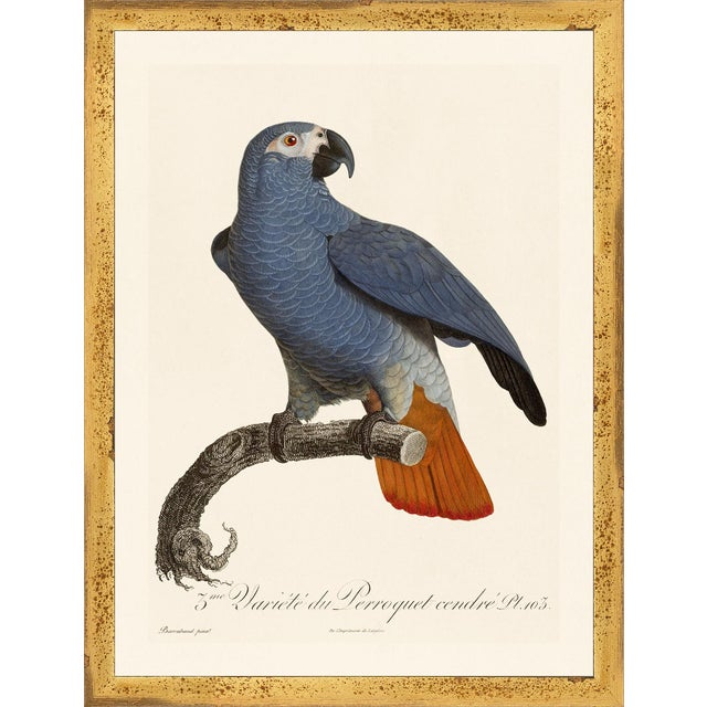 Not Yet Made - Made To Order Jacques Barraband Grey Parrots Framed - Set of 4 For Sale - Image 5 of 12