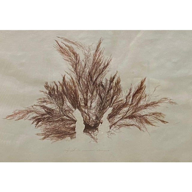 French Seaweed Print For Sale - Image 3 of 4