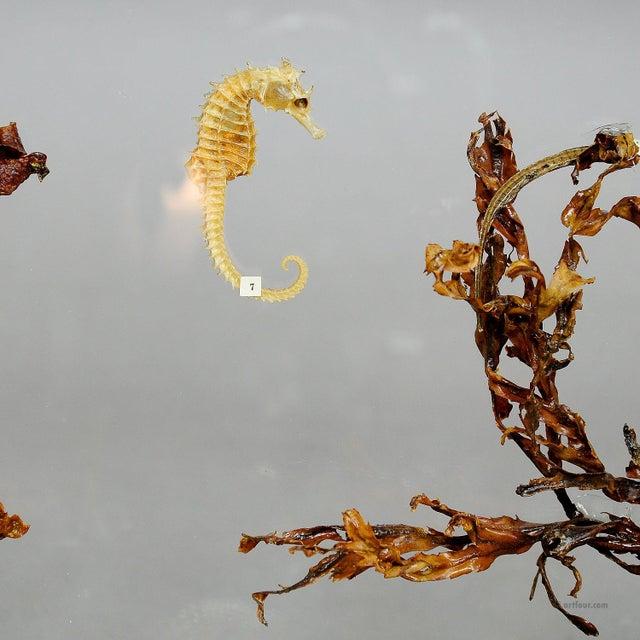 Early 20th Century Antique Natural Wunderkammer Aquarium Specimen For Sale - Image 5 of 7