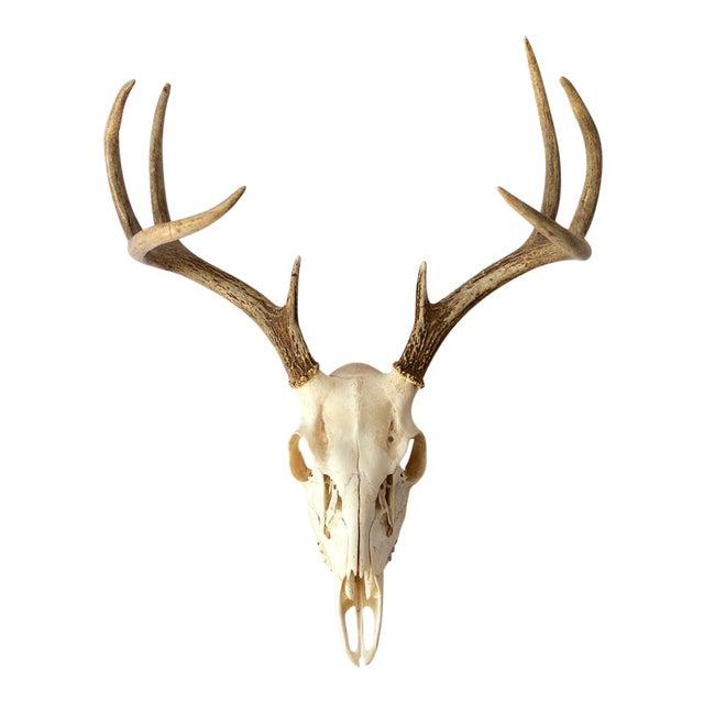 8-Point Whitetail Deer Skull For Sale