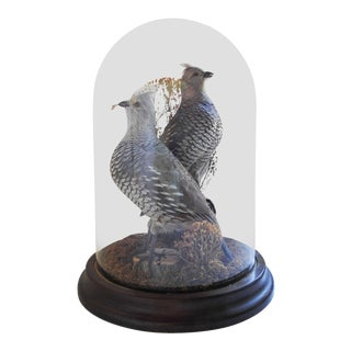 Taxidermy Scaled Quail Mount Under Glass Dome For Sale