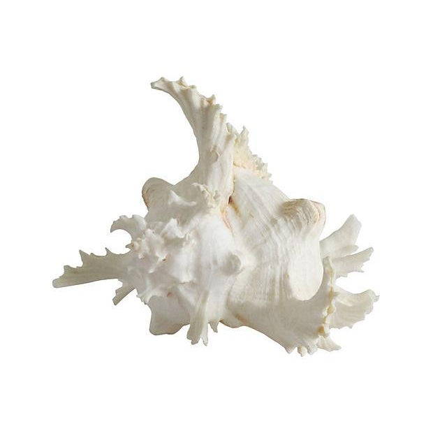 Spiky Conch Shell - Image 2 of 4