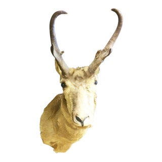Vintage Pronghorn Antelope Shoulder Mount Wall Taxidermy