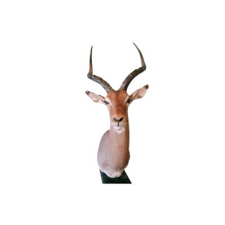 Vintage Taxidermy African Impala For Sale