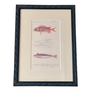 Framed Original 1849 Alcide d'Orbigny Hand-Colored Engraving Fish Nature Study From Dictionnaire Universel For Sale