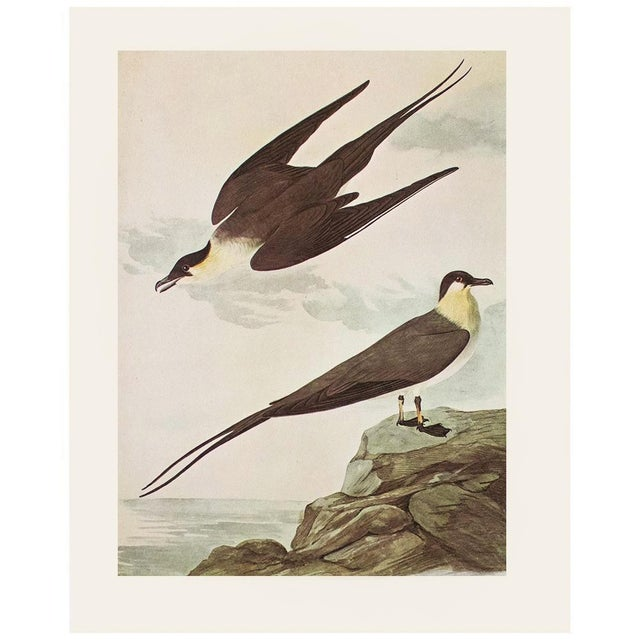 Long-Tailed Jaeger by John J. Audubon, Vintage Cottage Print For Sale In Dallas - Image 6 of 8