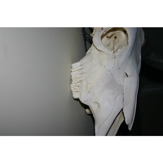 Vintage Mid Century Long Horn Steer Head For Sale - Image 4 of 6