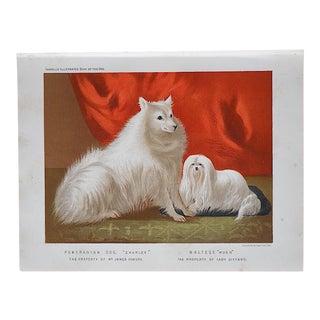 "Antique Dog Lithograph ""Pomeranian & Maltese"" For Sale"