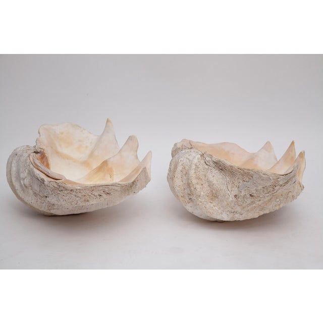 Early 20th Century Pair of Giant Clamshells For Sale - Image 5 of 10
