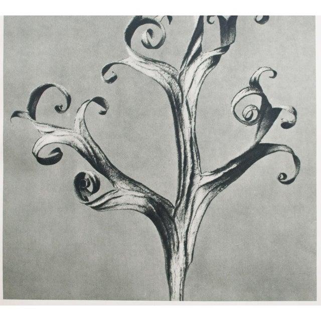 1935 Blossfeldt Photogravure N39-40 - Image 4 of 11