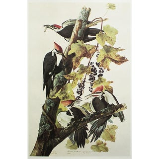 Pilated Woodpecker by Audubon, 1966 Vintage Cottage Print For Sale