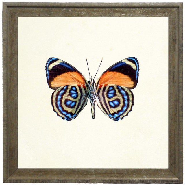 A bright orange butterfly with blue spots print framed in distressed cream and gold moulding. 15x15