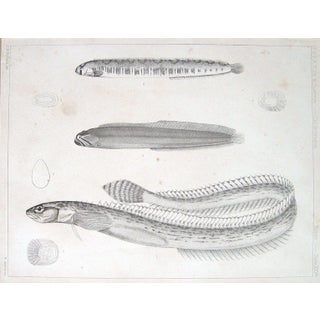 1850 US Pacific Railroad Expedition Eel Lithograph