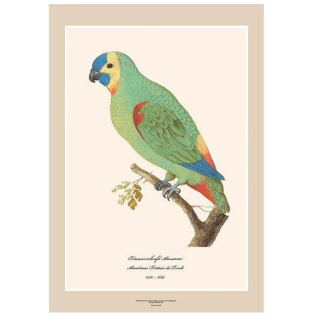 A beautiful reproduction print after watercolor of Blue-Fronted Amazon by Anselmus Boëtius de Boodt (1550 - 1632), Flemish...
