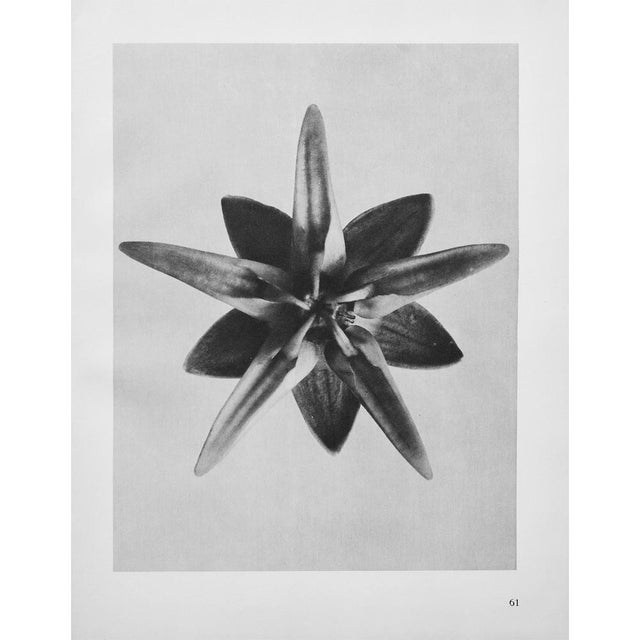 Lithograph 1935 Karl Blossfeldt Two-Sided Photogravure N62-61 For Sale - Image 7 of 9